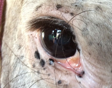 UC Davis is conducting a clinical trial on Equine Recurrent Uveitis in appaloosa horses.