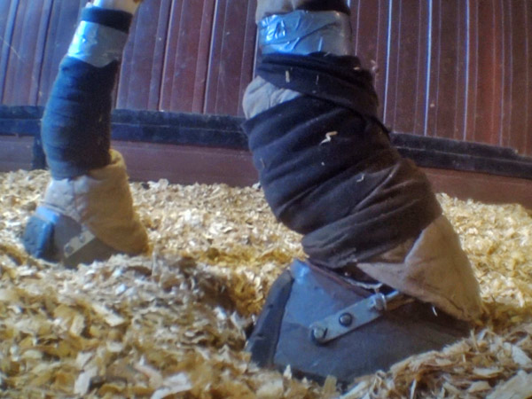 The HSUS released results of its second major undercover investigation of a Tennessee walking horse stable.