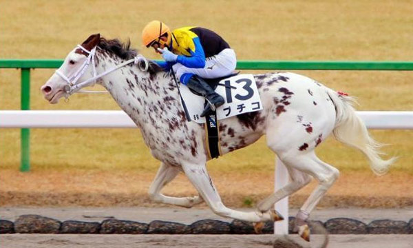 Coloured thoroughbred Buchiko is turning heads in Japan, and she's won three races.