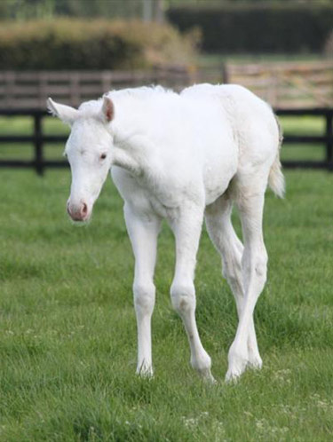 Bright and white: The Opera House's filly at Windsor Park Stud.