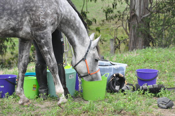 One way to counteract fatigue in endurance horses is to feed a source of easily digested carbohydrate both after training and during competition.