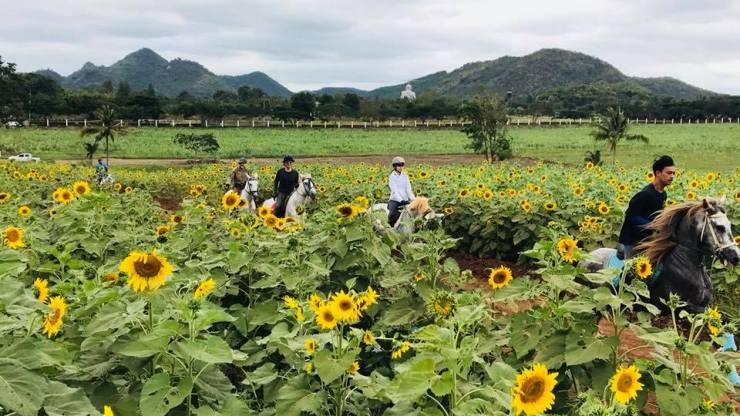 Horse riding in the sunflower field, Khaoyai, Thailand