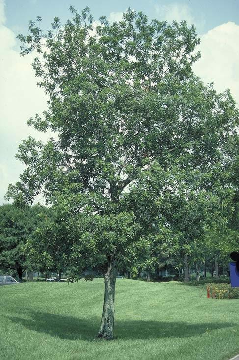 Loblolly Bay Tree Selection Landscape Plants Edward