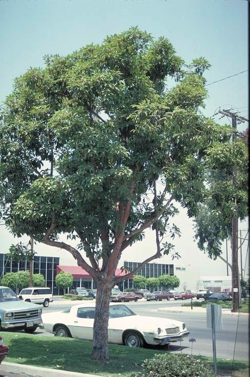 Brisbane Box Tree Selection Landscape Plants Edward