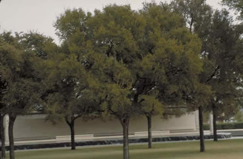 Cedar Elm Tree Selection Landscape Plants Edward F