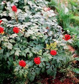 actaea-rubra-baneberry-in-garden-copy