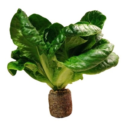Riococo Closed Bottom Organic Plug used for Lettuce