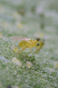 One Eremocerus eremicus predatory wasp, which is used on greenhouse tomatoes, feeds on 20-30 whitefly larvae a day.