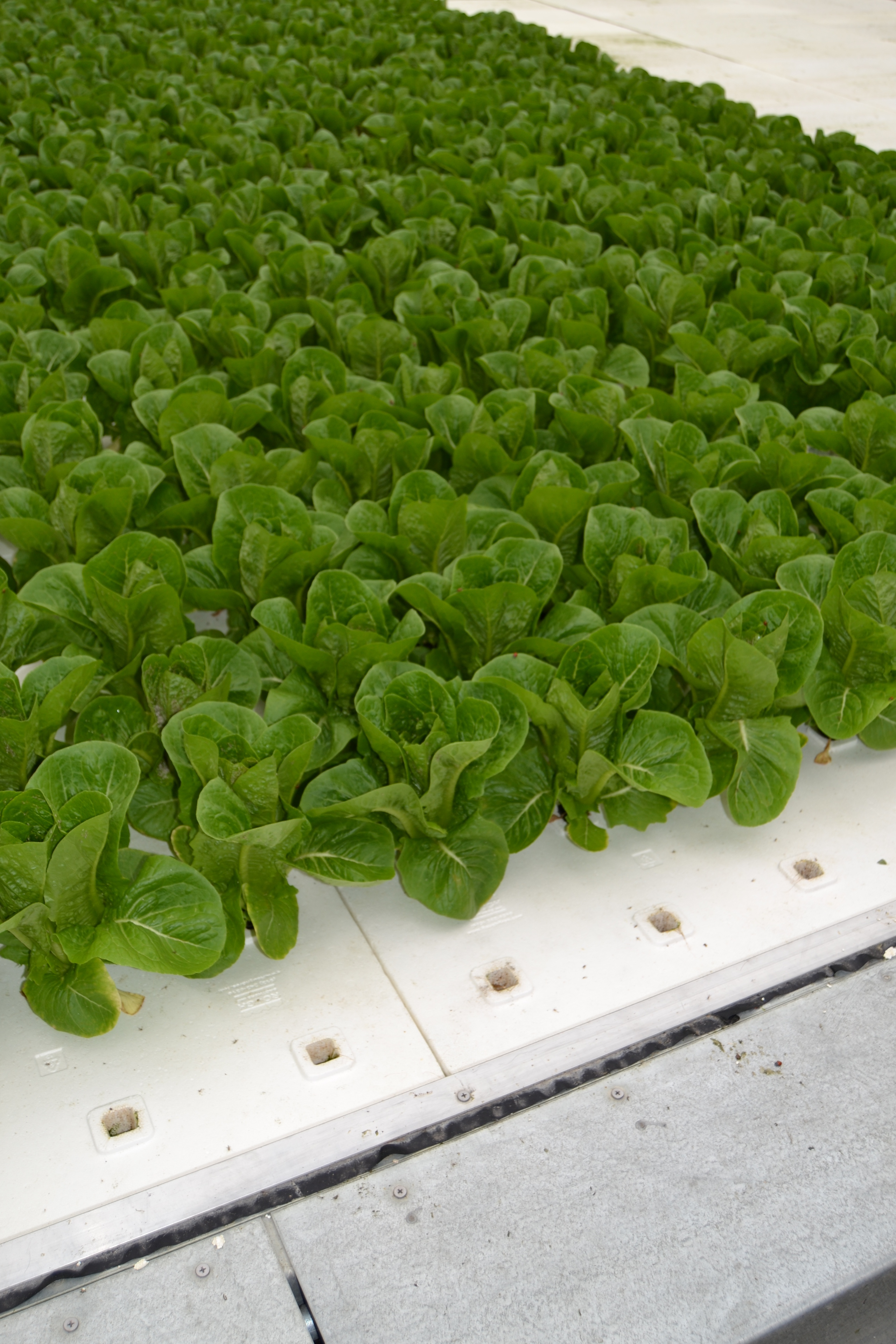 Maintaining the optimum temperature oxygen and beneficial for Hydroponic raft system design