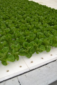Hydroponic floating raft lettuce