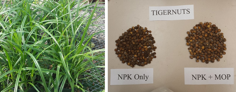 Tiger nuts (Cyperus esculentus cv. sativus) grew better under hoop house conditions than in a greenhouse. The plant's gluten-free tubers are high in fiber and vitamins and are considered a super snack food.