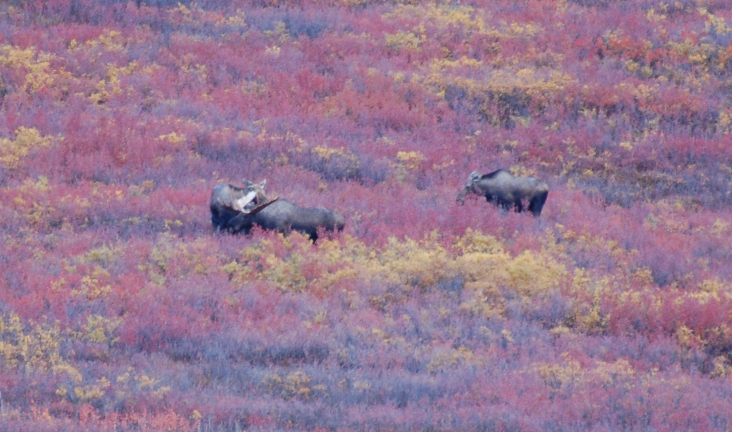 Another male moose with 2 females already in tow