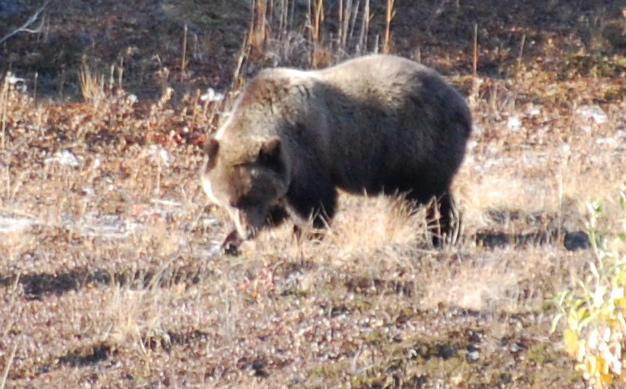 Believe it or not, this is the cub.  Grizzly bears care for their cubs for over 2 years!