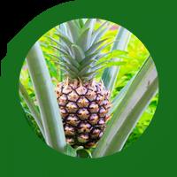piña_web