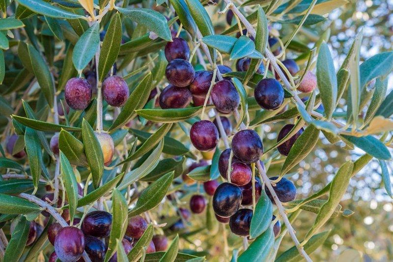 oliva madura en arbol