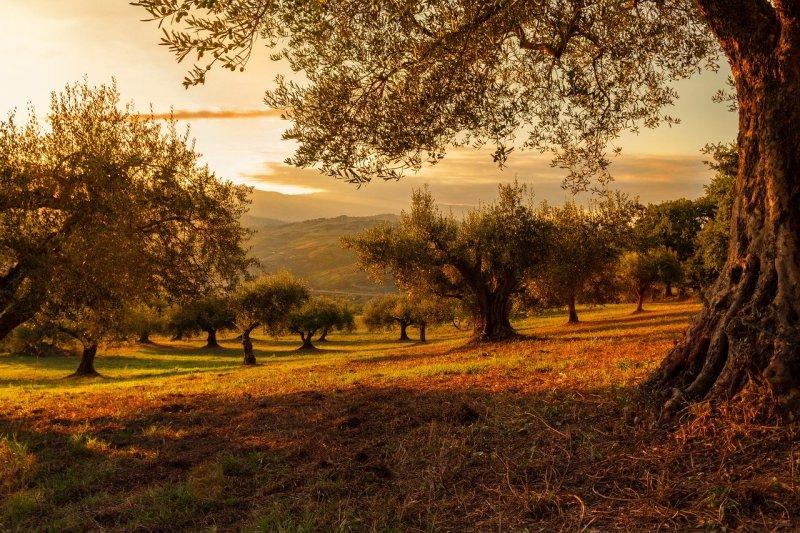 paisaje olivo
