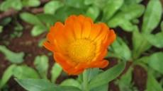 A calêndula é a flor mais especial desse horto!