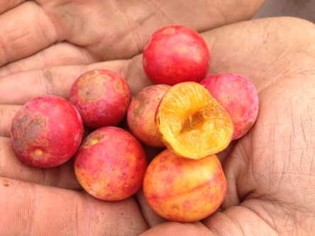 A handful of delicious American Plum fruit