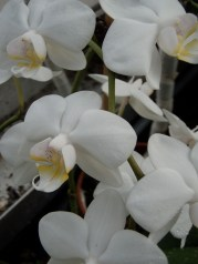 White tropical Phalaenopsis Orchid, or Moth Orchid. Commonly found in the wilds of big box stores and garden centers. Much more easily found and propagated than our native orchids.