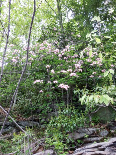 Pinxterbloom Azaleas along the rocky banks of the Lehigh River