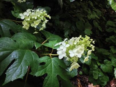 New Oakleaf Hydrangea Flowers