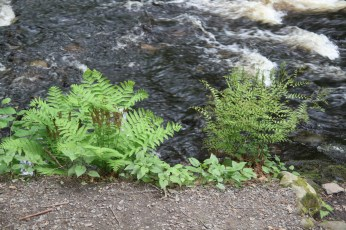 Interrupted Fern and Royal Fern side by side creekside.