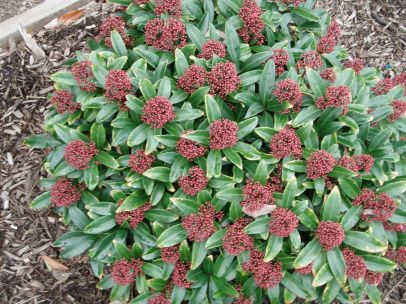 Skimmia Flowers in January