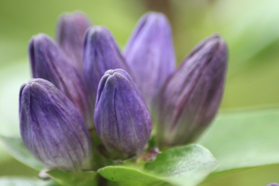 Flowers of Closed Gentian