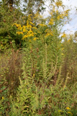 Common Ragweed and Goldenrod