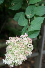 """Hydrangea paniculata blooms showing their fall color or """"antiquing"""" as a dear friend described it to me."""