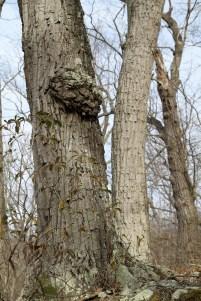 Burl in West Virginia Woodlands