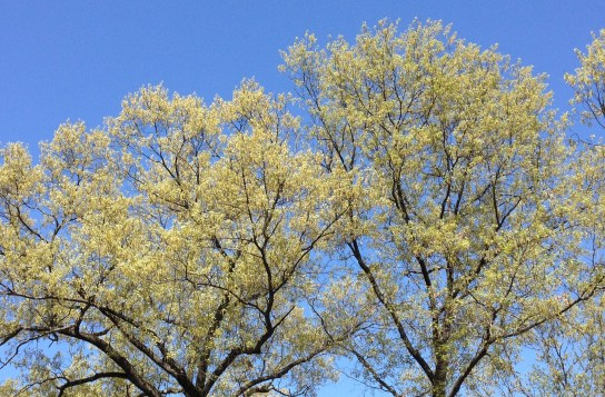 The unique dusty yellow-gray of White Oak (Quercus alba) catkins.