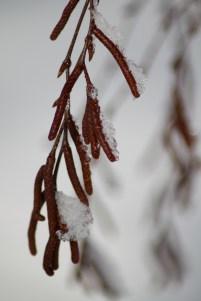 Male catkins of Sweet Birch (Betula lenta)