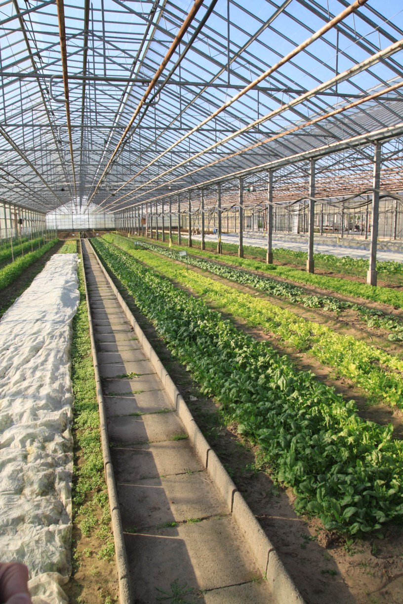 Rows of spring greens in a repurposed azalea greenhouse now growing vegetables organically.