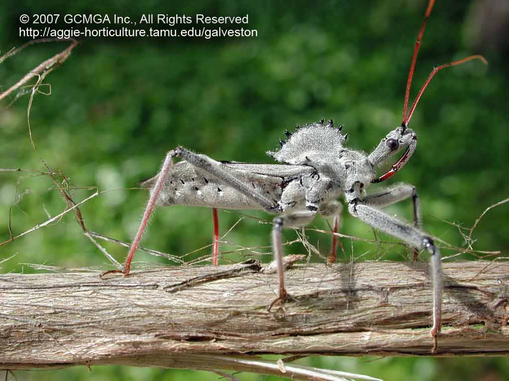 Beneficial Insects In The Garden 09 Wheel Bug Arilus