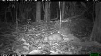 Long Tail Porcupine