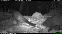 Masked Palm Civets