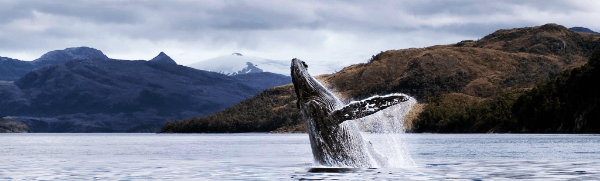 Humpback Whale Watching in the Strait of Magellan