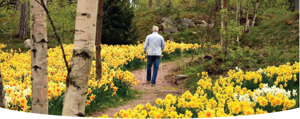 Main walking through a dafodil lined path