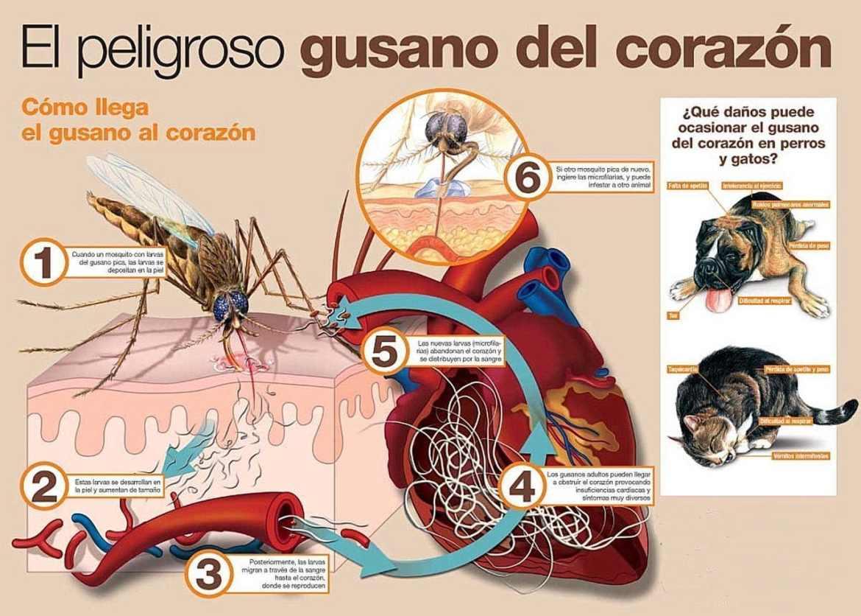 ciclo biologico de la filaria o gusano del corzaon