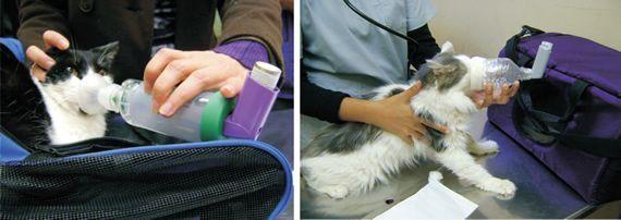 tratamiento del asma felina