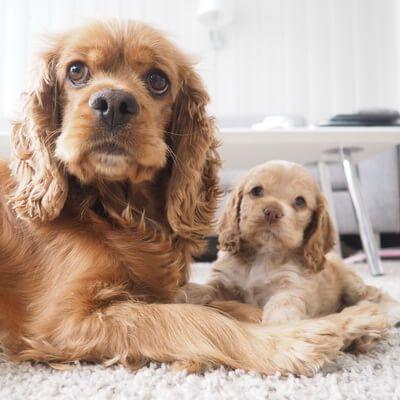 Perro Cocker y su cachorro