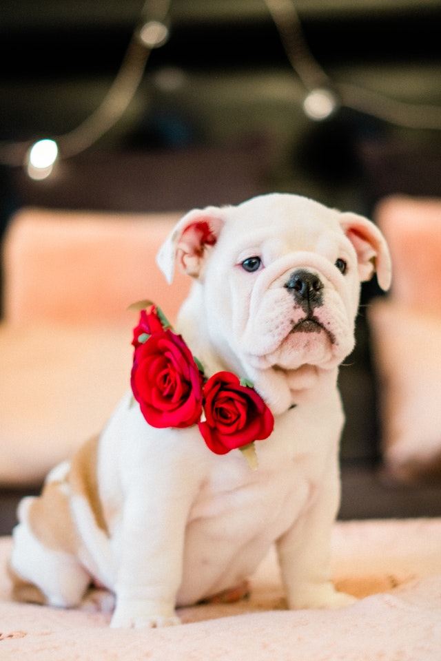 white bull dog puppy with red roses around his neck