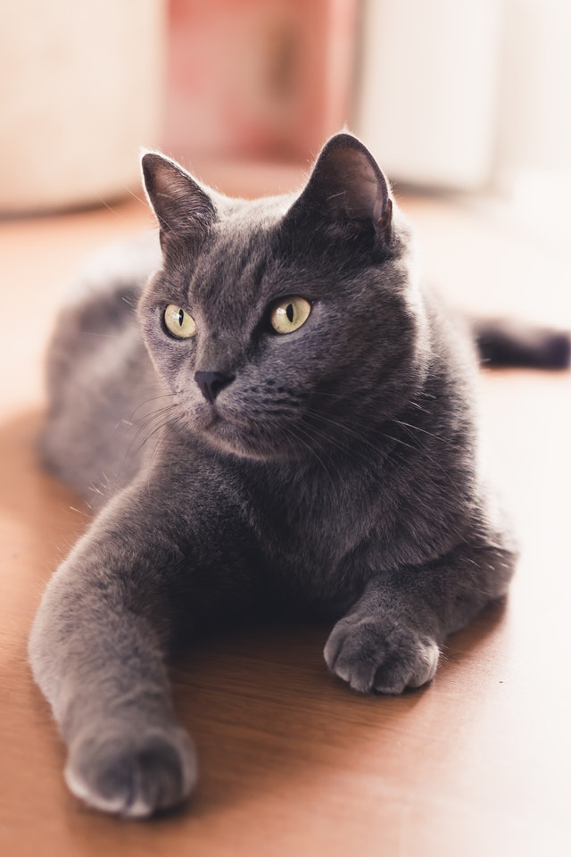 grey cat patiently waiting for a treat