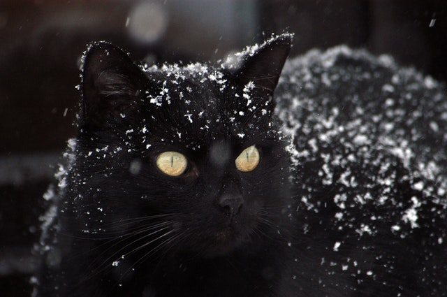 black cat with snow flakes on it