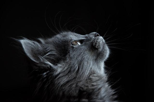 Grey cat looking up at a treat