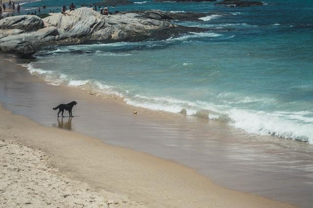 black lab on the beach