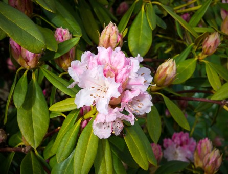 Early flowering rhododendron