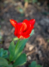 first open tulip of the year