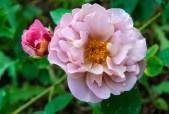 rose 'Lavender Pinocchio'